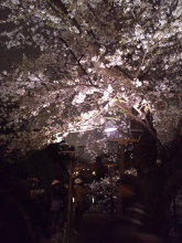 The different charms of cherry blossoms during the day and at night!!