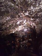 白天与夜晚,樱花的别样魅力!